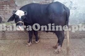 Buffalo for Sale in Lahore