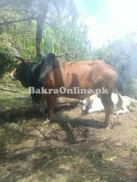 Beautiful Eid Qurbani Bulls for Sale