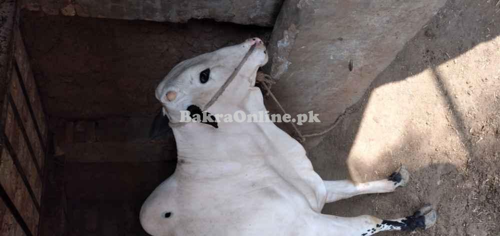 Bail Chitta kabooter