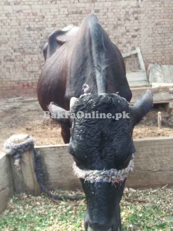 Bull cross breed with long whale and height with average physical apea