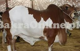 VIP Bull for Sale in Karachi