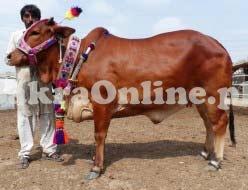 Bull for Sale in Quetta