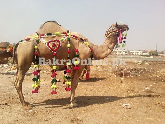 Camel for Qurbani in Karachi