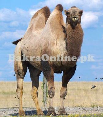 Bakra Online Images