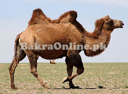 VIP Camel Sale for Eid 2020
