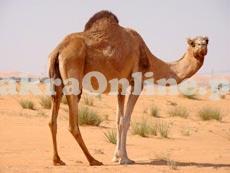 Camel for Sale in Rawalpindi