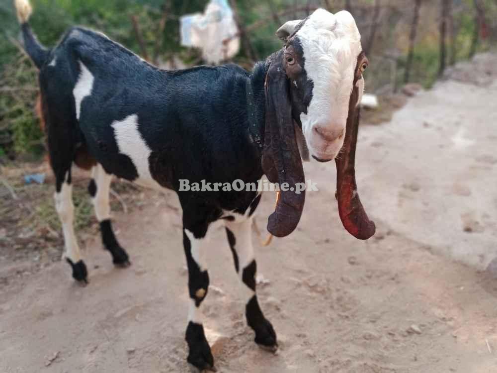 Bakra Age 01 year Desi