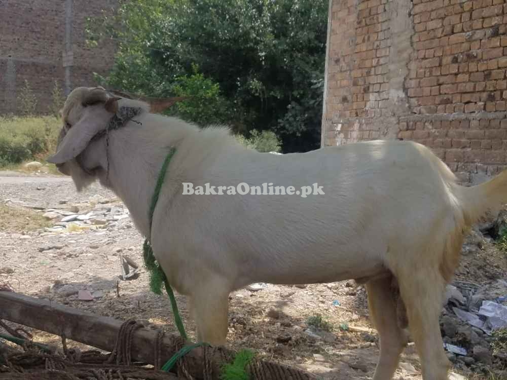 Healthy Beautiful Bakra in Peshawar City