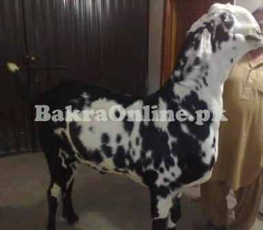 Bakra for Sale in Peshawar