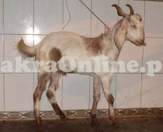 Goat for Qurbani in Peshawar