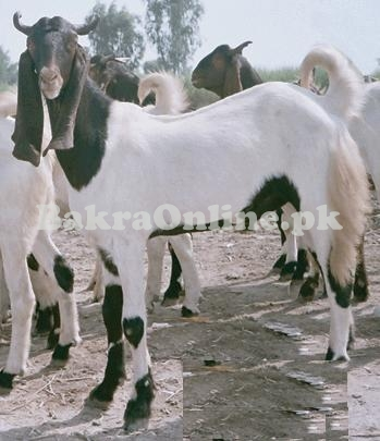 Goat for Sale in Lahore