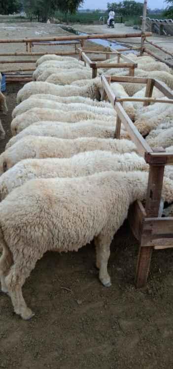 Cholistani Dunba Animal Farm