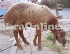 White Sheep Available for Sale