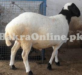 Sheep for Sale in Rawalpindi