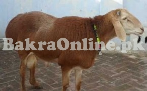 Dumba for Sale in Lahore