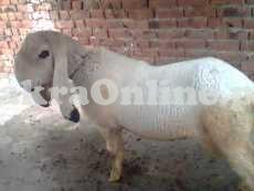 Dumba for Sale in Karachi
