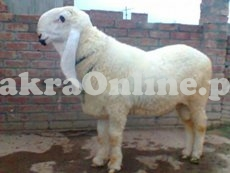 White Sheep for Sale