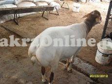 Sheep for Sale in Karachi