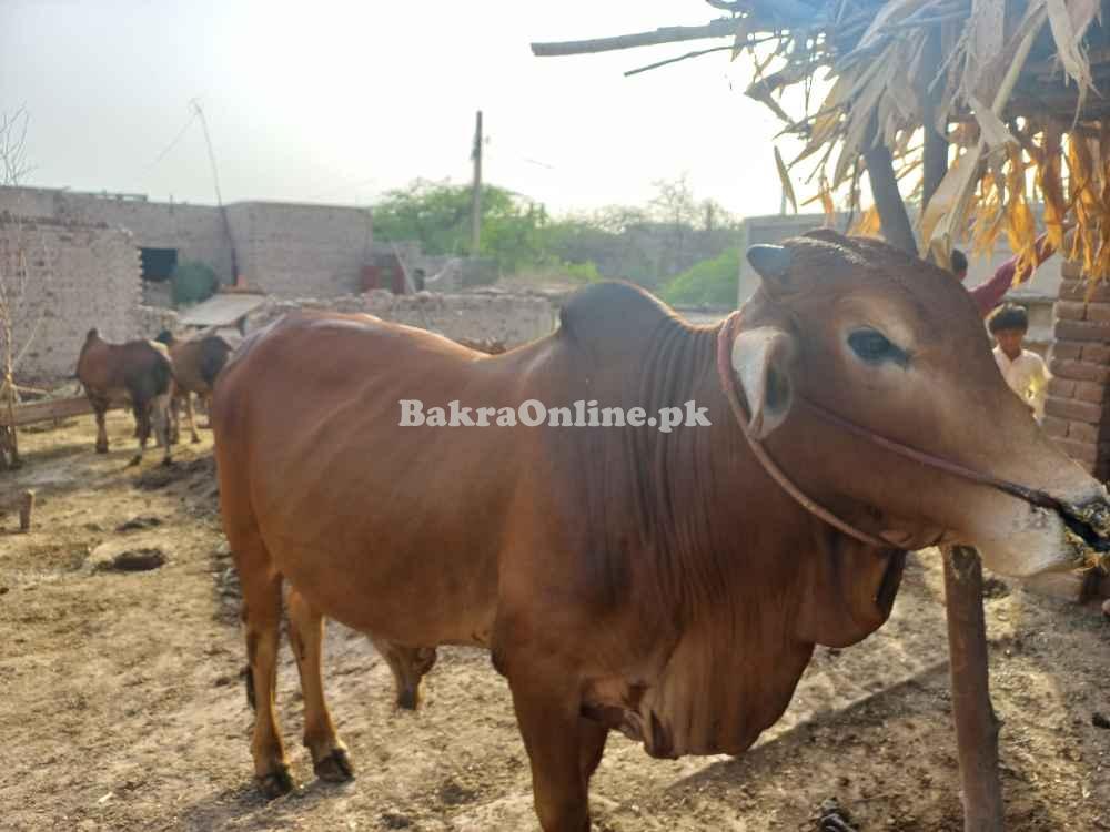 bull for qurbani couple