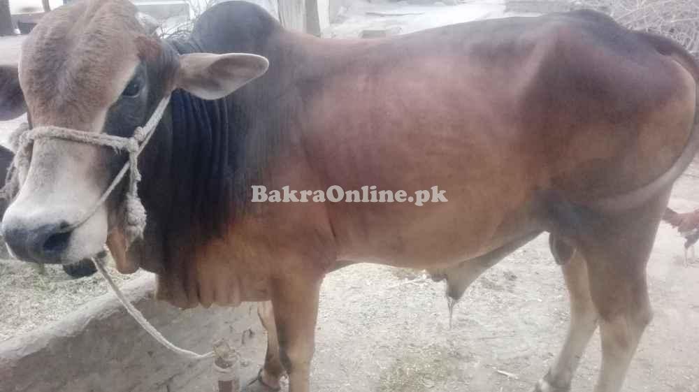 Bull for sale in Toba Tek Singh