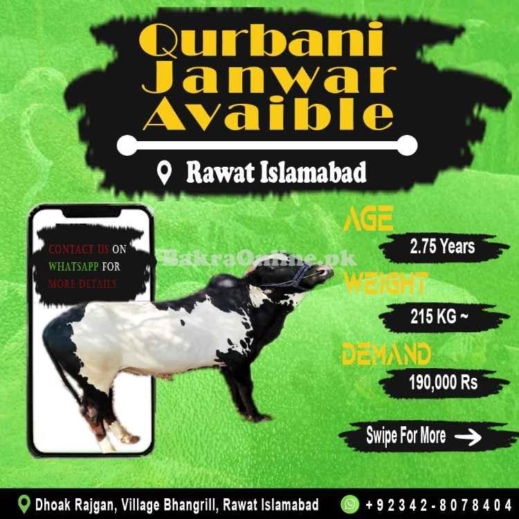 3 Heavy Bulls - Wehray - Wachay for Qurbani 2021