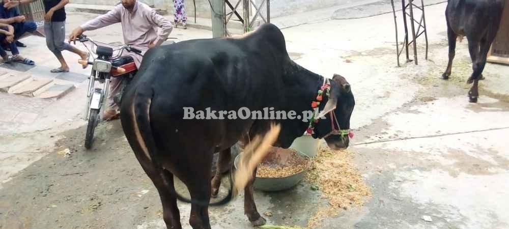 Beautiful shiny sahiwal bull