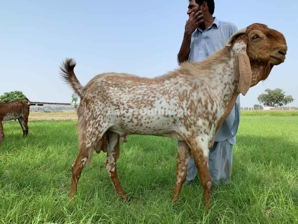 Very Special Aandal Makhy Cheena Beautiful 4