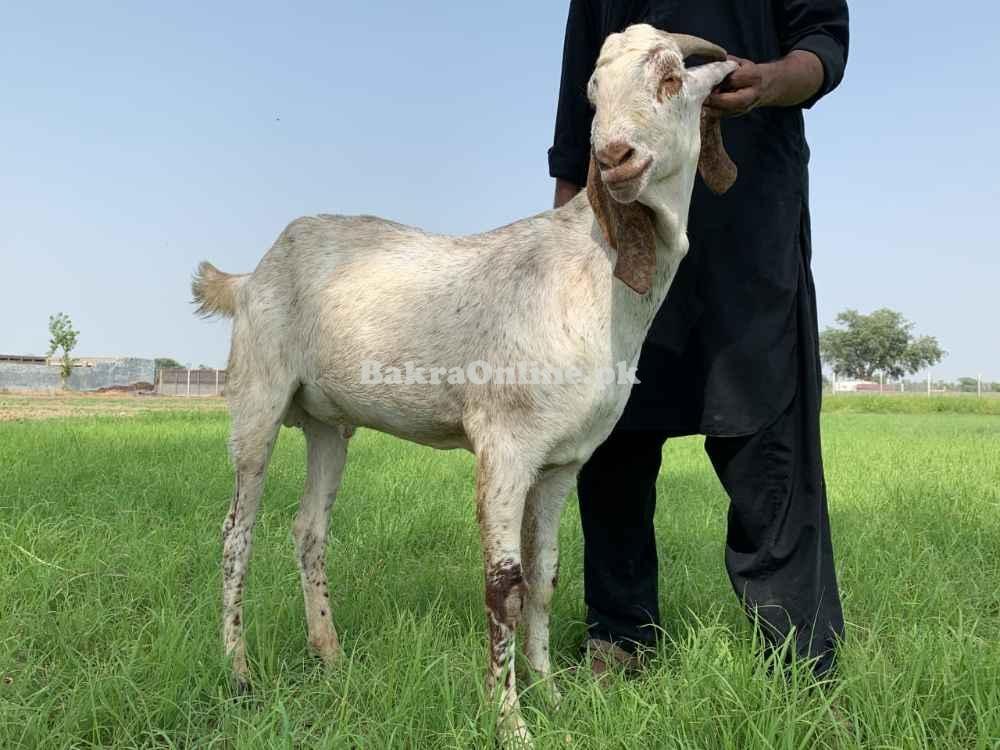 Pure Makhy Cheena Bakra 5 Khasi Donda