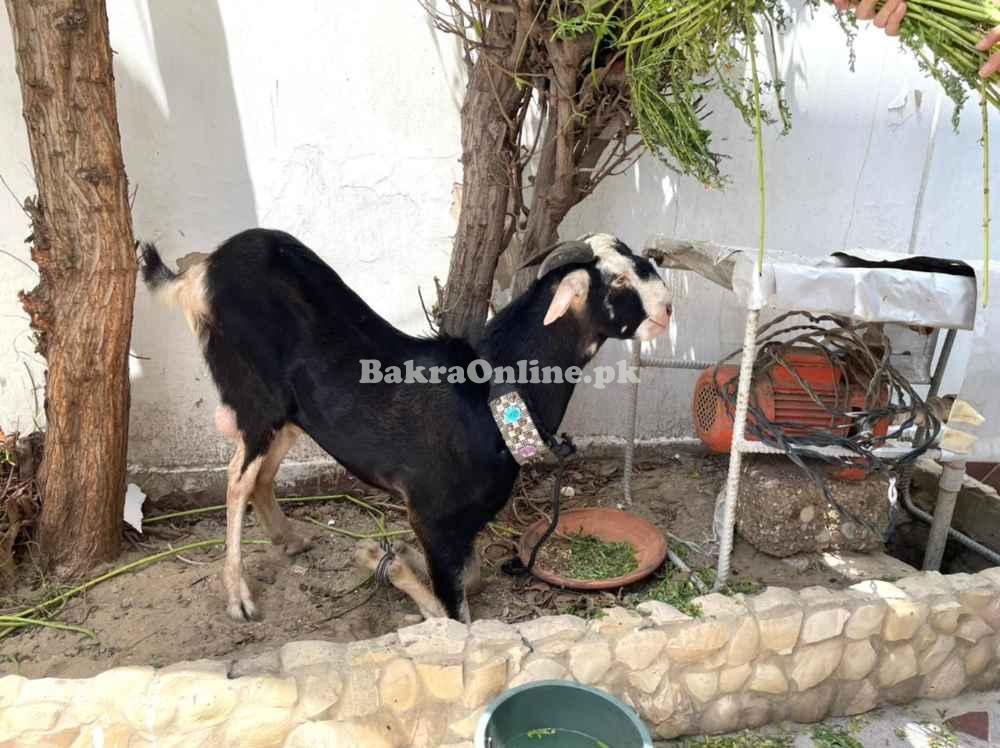 Goat Qurabani ka bakra for sale