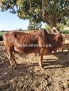 Sahiwal Bull for for qurbani 2021
