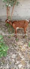 Goat for sale PESHAWAR City