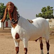 Buy Goat Bakra Vip for Eid ul Azha Adha Qurbani Sacrifice UK